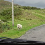 The Back End of a Suicide Sheep!